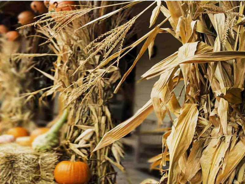 Corn Stalk For Sale